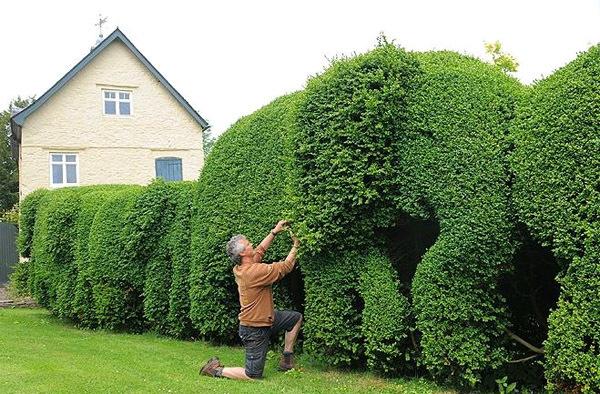 Живая изгородь быстрорастущая многолетняя вечнозеленая